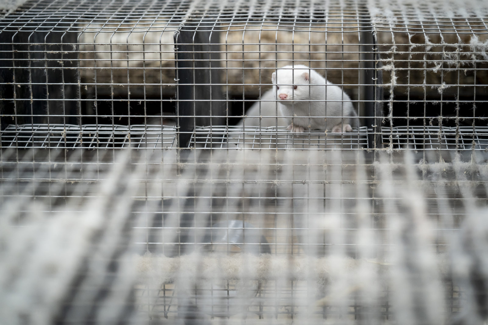 OR officials urged to probe mink farms amid COVID-19 fears